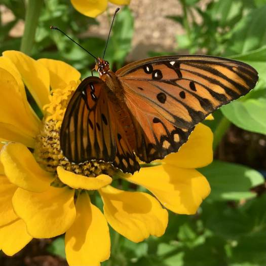 Yellow zinnia with butterfly