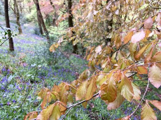 Fresh beech leaves hang over bluebells