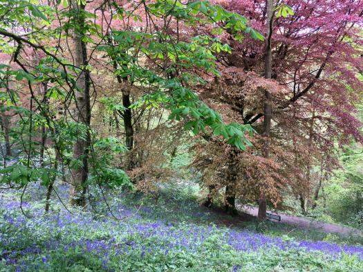 Bluebells in Sunnyhurst Wood