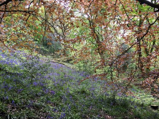 English bluebells under a beech canopy