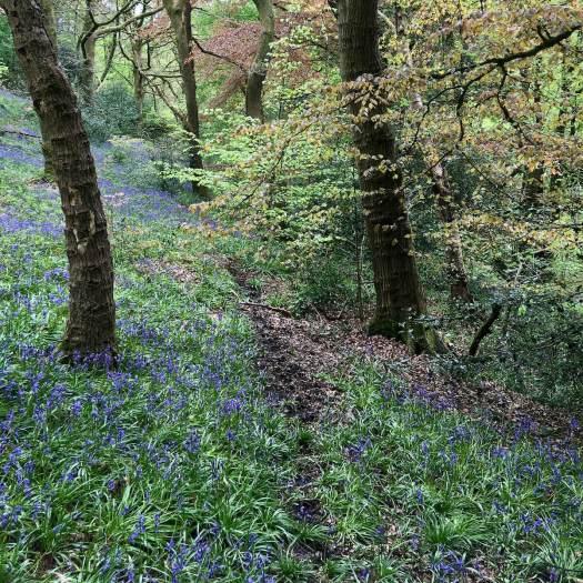 Narrow path through bluebell wood