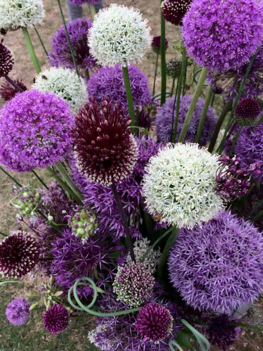 Collection of decorative alliums