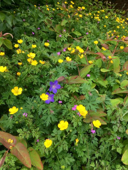 Common buttercups with wild and cultivated geraniums