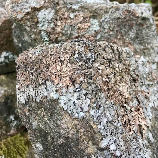 Silvery bronze lichens on a dry stone wall in Darwen, Lancashire