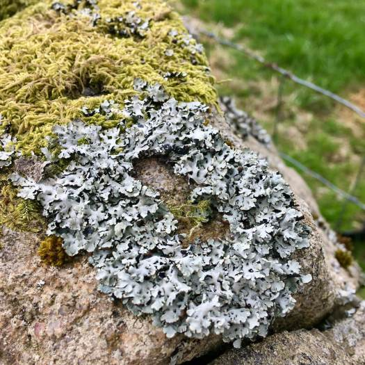 Raised oval lichen with moss