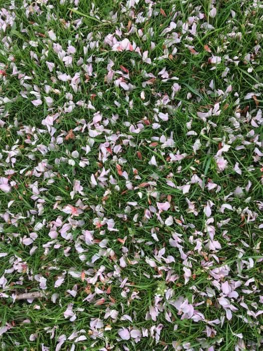 Fallen flowering cherry petals