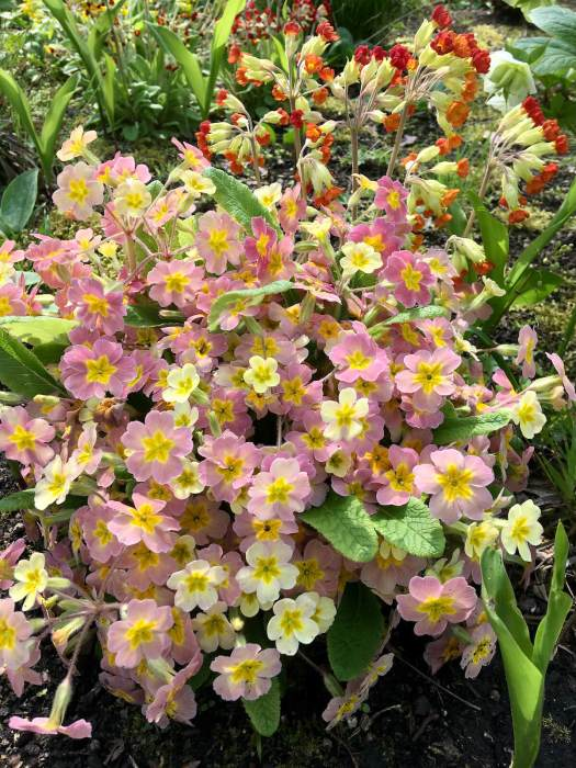 Pink primroses and orange-red cowslips