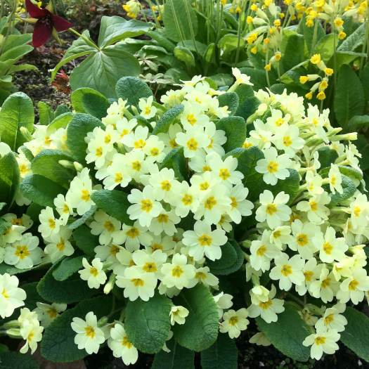 Comparison between primroses and cowslips