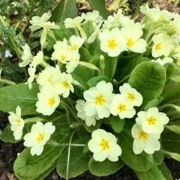 Primrose (Primula vulgaris) have open flowers