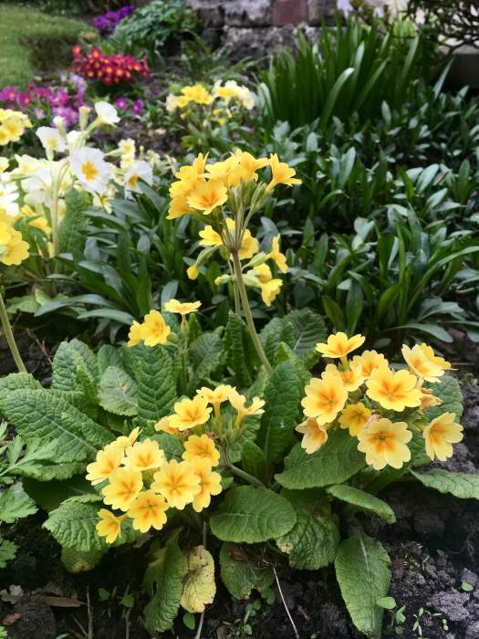 Primula garden hybrids of different colours and forms