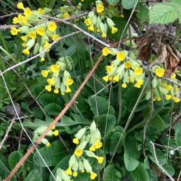 Cowslips have bell-shaped bright yellow flowers