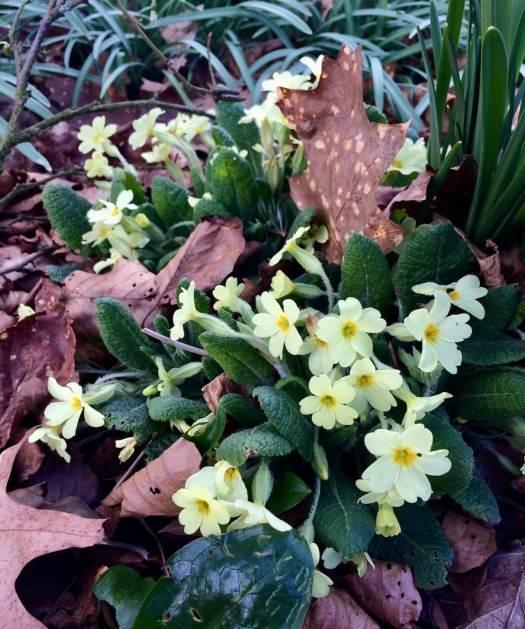 Wild primrose (Primula vulgaris) flowering among fallen leaves