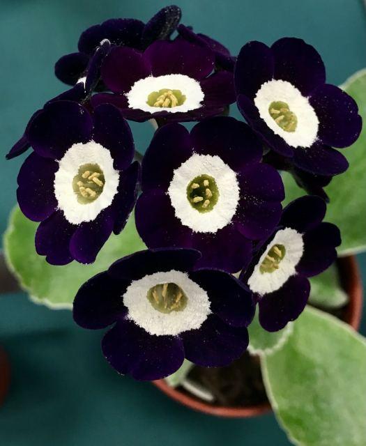 Dark purple auricula with white centre