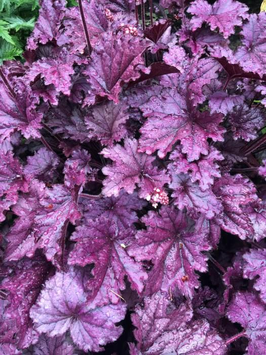 Purple-leaved heuchera covered with rain droplets