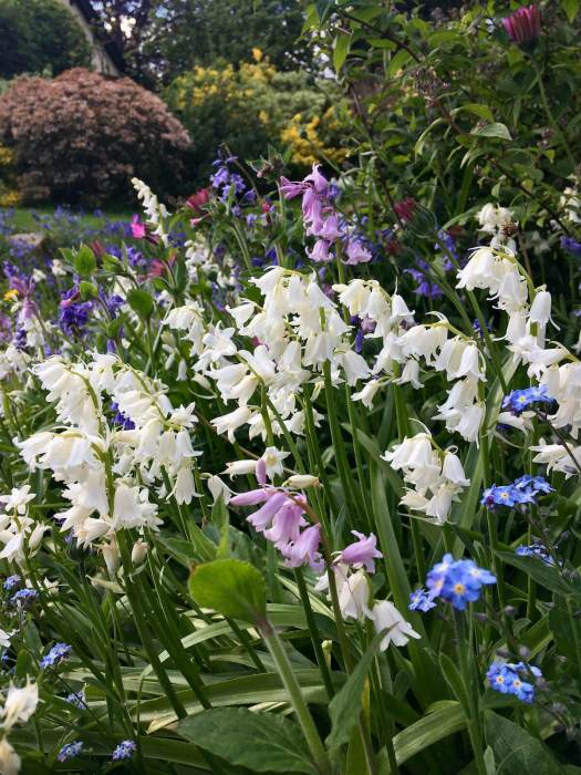 White, pink and blue bluebells in a spring garden