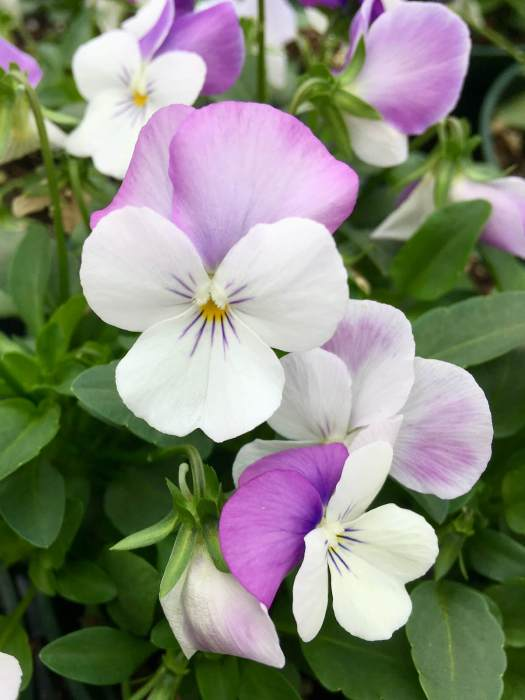White viola with purple whiskers