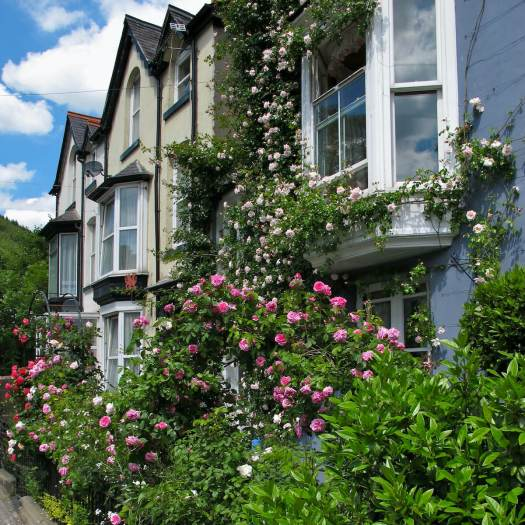 Climbing roses on a terraced house in Wales