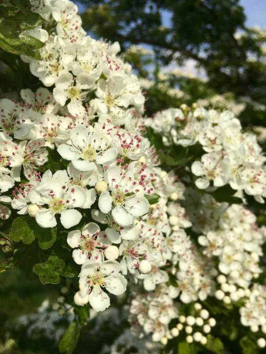 Hawthorn flowers with pink tipped stamens