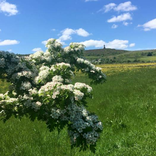 Hawthorn in flower on the edge of Darwen Moor