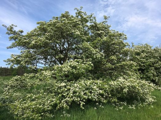 Hawthorn tree covered with blossom