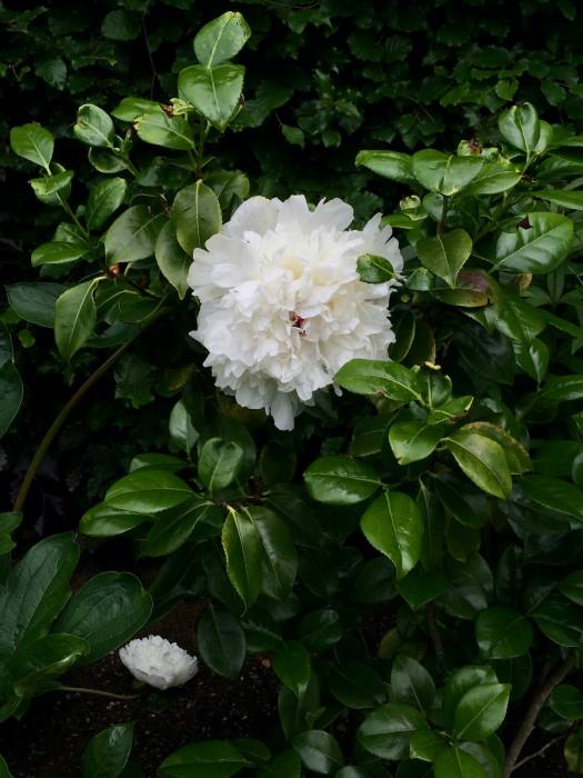 Large peony and small camellia