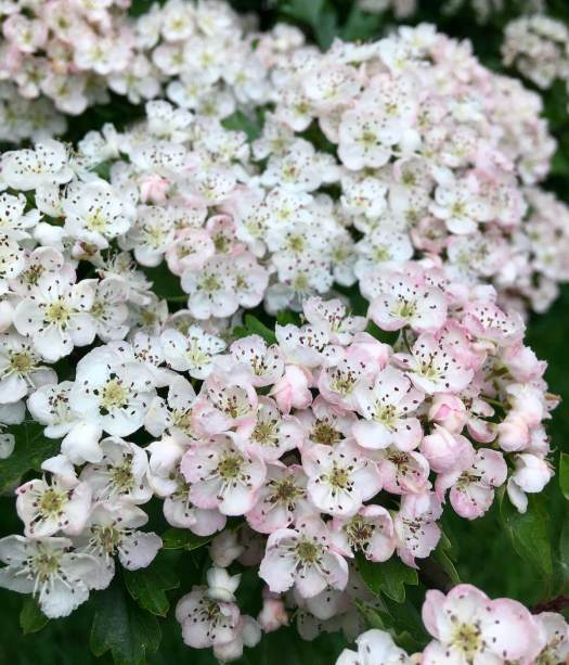 Hawthorn flowers age to pink