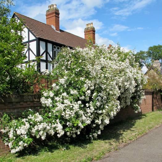White rambler rose