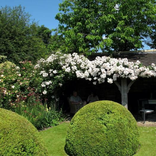White rambling rose at Wollerton Old Hall