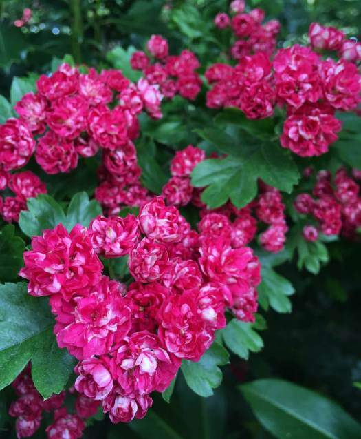 Double hawthorn with deep pink to red flowers