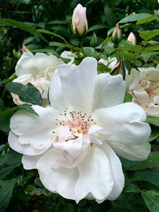 Rosa 'Jacqueline du Pré'