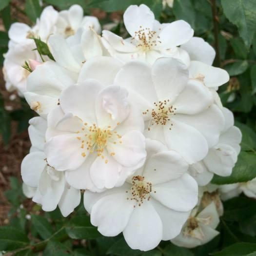 Rosa moschata 'Nastarana'