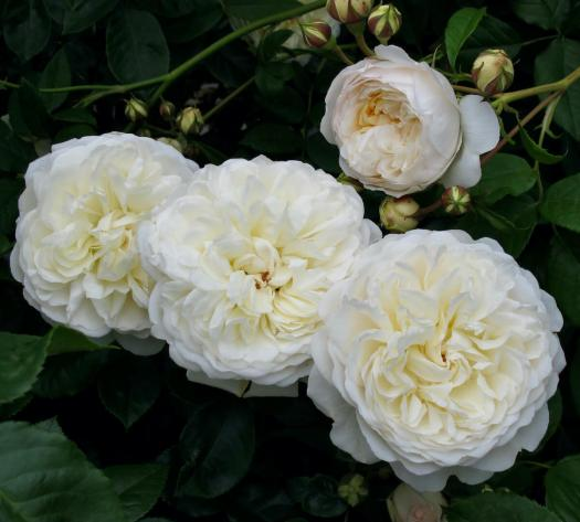 Rosa 'Tranquillity'