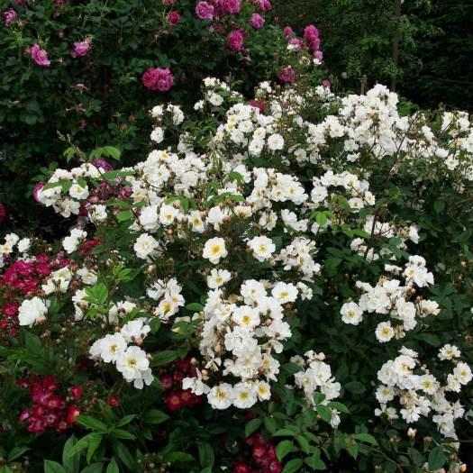 White shrub rose: Rosa 'Trier'