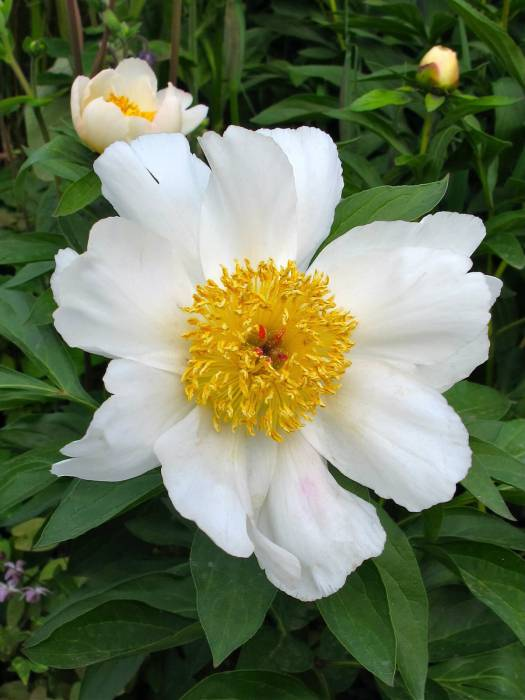 Single white peony with golden stamens