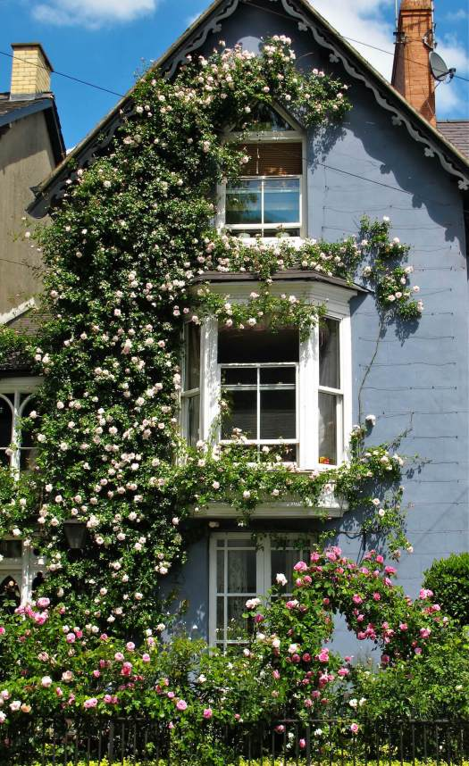 Tall climbing rose