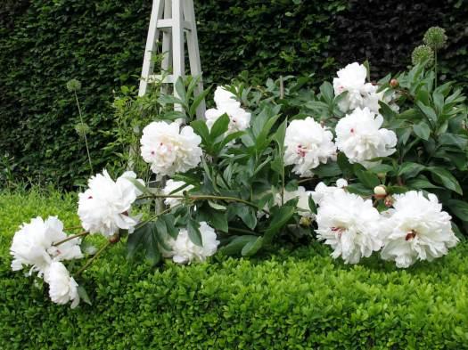 Tumbling white peony flowers