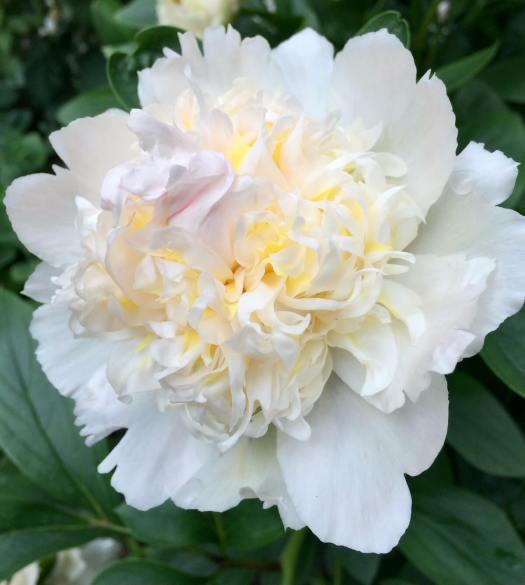 White peony with cream stamens