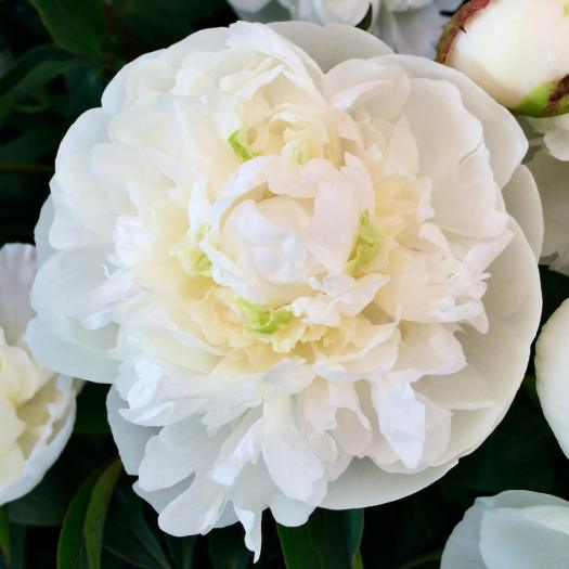 White peony with hints of green