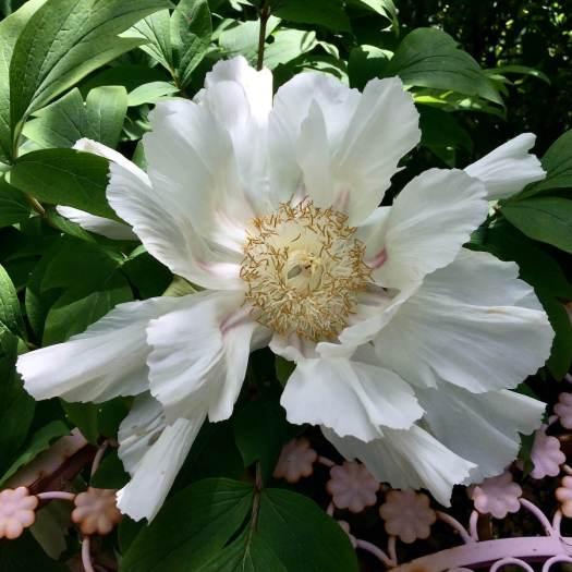 White tree peony flower