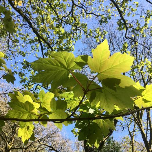 Acer pseudoplatanus: sycamore leaves