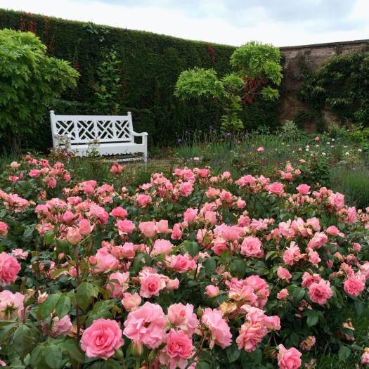 White bench with roses in Arley Hall's walled garden
