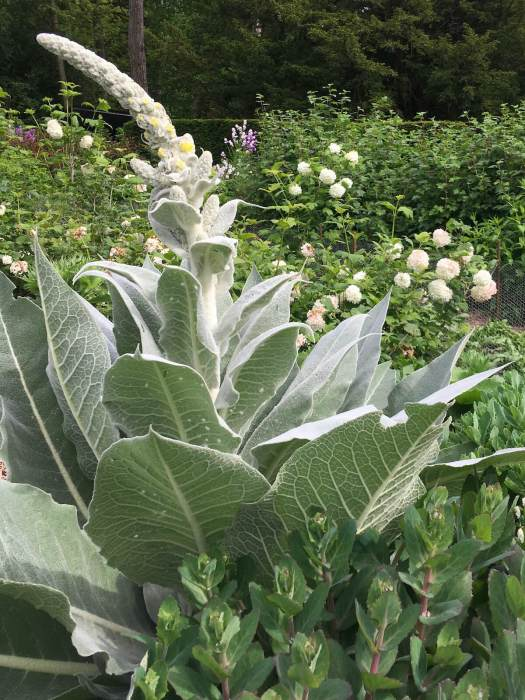 Verbascum with an arching spire of buds