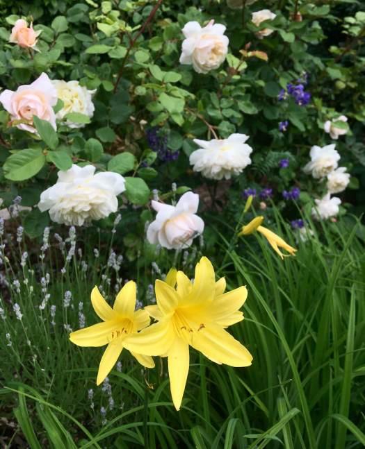 Rosa 'Crocus Rose' with daylily, lavender and polemonium