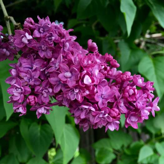Double lilac with darker flowers
