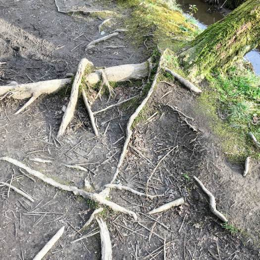 Exposed tree roots with leaning tree trunk