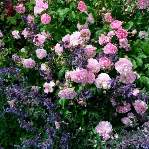 Harlow Carr roses with Nepeta