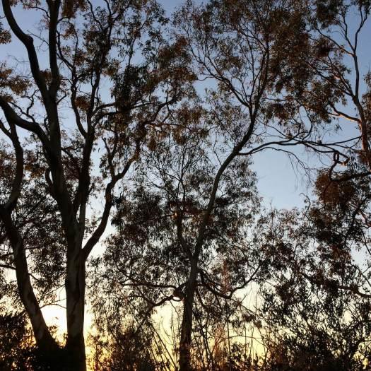 January tree canopies, San Diego Botanic Garden