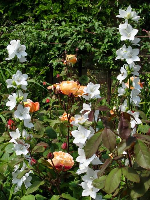 Lady Emma Hamilton rose with white campanula