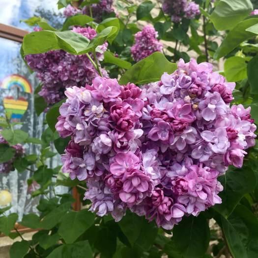 Lilac and rainbow heart