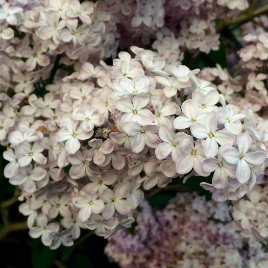 Antique style lilac flowers